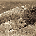 Mother Buffalo And Calf Sepia by Jennie Marie Schell