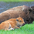 Mother Buffalo And Calf Yellowstone by Jennie Marie Schell