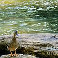 Mother Duck by Elvis Vaughn
