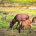 Mother Elk With Her Young by Sennie Pierson