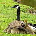 Mother Goose by Bruce Brandli