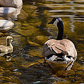 Mother Goose Il by Maria Angelica Maira