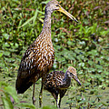 Mother Limpkin And Colt by Barbara Bowen