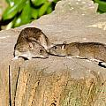 Mother Rat With Youngster by David Head