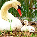 Mother Swan And Baby by Nick Zelinsky