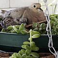 Mother With Baby Mourning Dove by Jussta Jussta