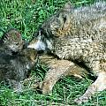 Mother Wolf Nuzzles Cubs by Larry Allan