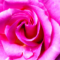 Mother's Day Rose Blank by Mark Andrew Thomas