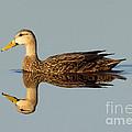 Mottled Duck by Anthony Mercieca
