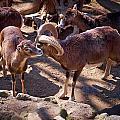 Mouflon by Jouko Lehto