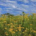 Mount Cheaha Goldenrod-alabama by Mountains to the Sea Photo