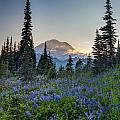 Mount Rainer Flower Fields by Mike Reid