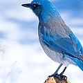 Mountain Blue Bird by Randy Stephens