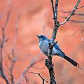 Mountain Blue Bird by Ronda Kimbrow