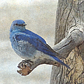 Mountain Bluebird by Angie Vogel