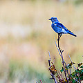Mountain Bluebird  by Ben Graham