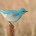 Mountain Bluebird by Charles Owens