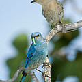 Mountain Bluebird Pair by Anthony Mercieca