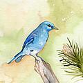 Mountain Bluebird by Sean Parnell