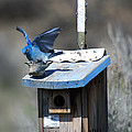 Mountain Bluebirds Mating by Mike  Dawson