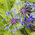 Mountain Bluet Flowers by Keith Webber Jr