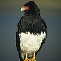 Mountain Caracara by James Brunker