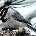 Mountain Chickadee During A Light Snow by Marilyn Burton