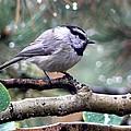 Mountain Chickadee On A Rainy Day by Marilyn Burton