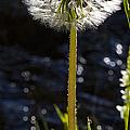 Mountain Dandelion by J L Woody Wooden