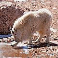 Mountain Goat Breaking Ice On Mount Evans by Fred Stearns