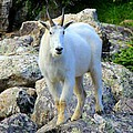 Mountain Goat by Danielle Marie