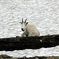 Mountain Goat by David Armstrong