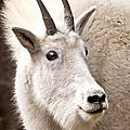 Mountain Goat by Jean Noren