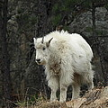 Mountain Goat Kid by James Peterson