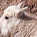Mountain Goat Kid Portrait On Mount Evans by Fred Stearns