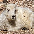 Mountain Goat Kid Relaxing On Mount Evans by Fred Stearns