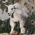 Mountain Goat Kid Standing On A Boulder by Jeff Goulden