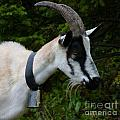Mountain Goat by MAK Photography