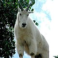 Mountain Goat by Marilyn Burton