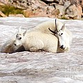 Mountain Goat Mother And Baby by Daniel Dodd