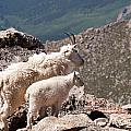 Mountain Goat Nanny And Kid Enloying The View On Mount Evans by Fred Stearns