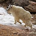 Mountain Goat On Snowfield On Mount Evans by Fred Stearns