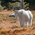 Mountain Goats Of Glacier by Brenda Jacobs