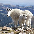 Mountain Goats - Quandary Peak by Aaron Spong