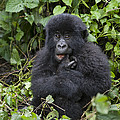 Mountain Gorilla Baby Chewing On Finger by Suzi  Eszterhas