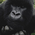 Mountain Gorilla Juvenile Portrait by Gerry Ellis