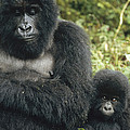 Mountain Gorilla Mother And Baby by Konrad Wothe