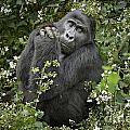 Mountain Gorilla Praying by Juergen Ritterbach