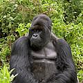 Mountain Gorilla Silverback by Ingo Arndt