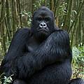 Mountain Gorilla Silverback by Suzi Eszterhas